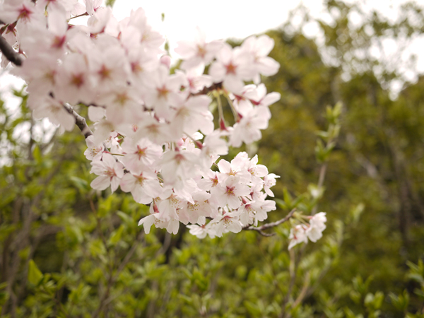 桜のアップ花びら写真
