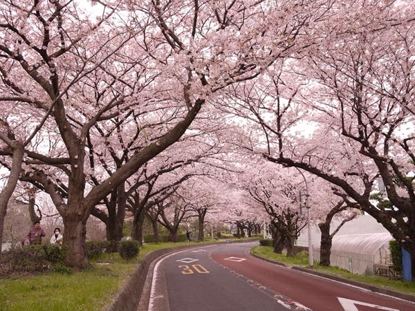 水元公園の桜並木