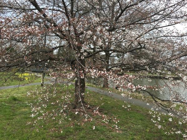 2016年3月27日水元公園の桜