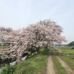 今井の桜の土手から