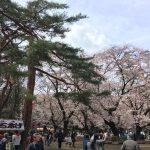 大宮公園の桜 2017